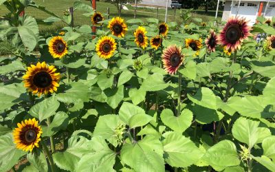 Sunflowers succession planting