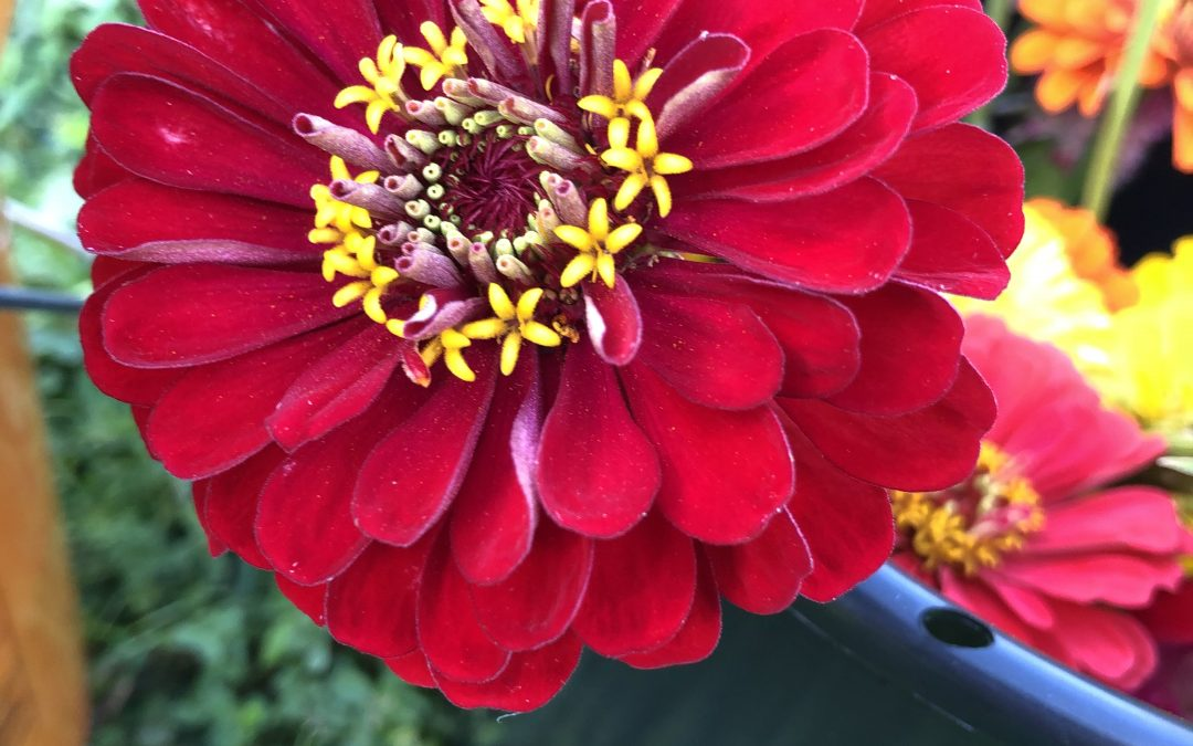 Zinnias are the workhorses of the flower garden